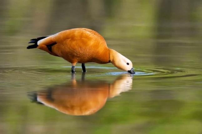 Δέλτα του Έβρου σπάνια πουλιά