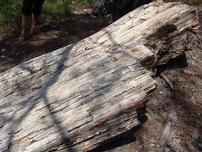 Απολιθωμένο δάσος της ευρύτερης περιοχής Φυλακτού